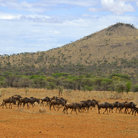 Picture - The Wildebeest migration in Serengeti National Park.
