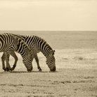 Picture - Zebras in the Serengeti of Tanzania.