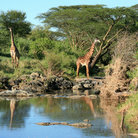 Picture - Girrafe near a watering hole in Serengeti National Park.