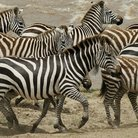 Picture - A herd of zebras in Serengeti National Park.