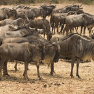 Picture - A herd of wildebeests living in the Serengeti National Park.