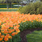 Picture - Spring flowers at Sherwood Gardens in Baltimore.