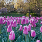 Picture - Tulips at Sherwood Gardens in Baltimore.