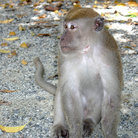 Picture - A macaque monkey in Singapore.