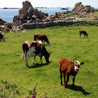 Picture - Cows on the pasture land of St. Agnes Island, Isles of Scilly.