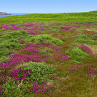 Picture - Heather on St. Martin's Island, Isles of Scilly.