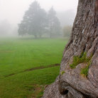 Picture - Trees in the mist at the Strybing Arboretum in San Francisco.
