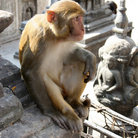 Picture - Monkey on Swayambhunath Buddhist Temple in Kathmandu.
