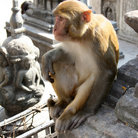 Picture - A Rhesus Monkey at Swayambhu, Kathmandu, more commonly known as the monkey temple.