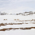 Picture - A herd of reindeer in Lapland.