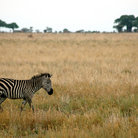Picture - A zebra in the plains of Tarangire National Park.