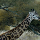 Picture - Portrait of a giraffe in Tarangire National Park.