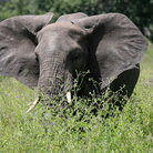 Picture - Elephant in tall grass in Tarangire National Park.