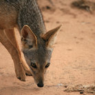 Picture - A black backed jackal in Tarangire National Park.