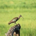 Picture - Hadada ibis in Tarangire National Park.