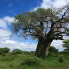 Picture - A baobab tree in Tarangire National Park.