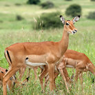 Picture - A herd of impala in Tarangire National Park.