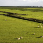 Picture - Sheep in the pasture lands of Texel.