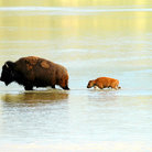 Picture - Mother and baby bison crossing a shallow river in Theodore Roosevelt National Park, North Dakota.
