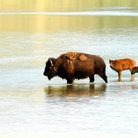 Picture - Family of bison in a shallow river in Theodore Roosevelt National Park.