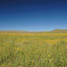 Picture - Mustard plant field in Theodore Roosevelt National Park.