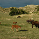 Picture - Bison roam freely on the open plains and grassy hills in Theodore Roosevelt National Park.