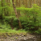 Picture - Gales Creek flows through Tillamook State Forest.