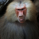 Picture - Baboon, Tsavo National Park.