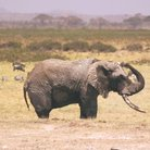 Picture - Elephant in Tsavo National Park.