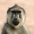 Picture - A baboon in Tsavo National Park.