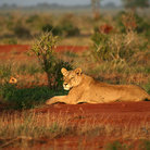 Picture - A resting lion in Tsavo National Park.