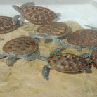 Picture - Turtles at the turtle farm on Grand Cayman.