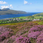 Picture - Wildflowers at Ullapool.
