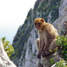 Picture - The apes in Gibraltar are the only monkeys living wild in Europe.