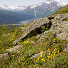 Picture - Flowers on Thompson Pass near Valdez.