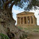 Picture - Olive tree and temple at Agrigento.