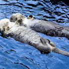 Picture - Otters floating at the Vancouver Aquarium.