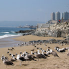 Picture - Seagulls on one of the beaches of Vina del Mar.