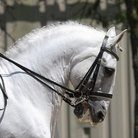 Picture - A white lipizzan stallion in Wadsworth.