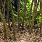 Picture - Bamboo in the Wahiawa Botanical Gardens in Hawaii.