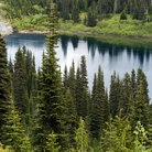 Picture - Pine trees in Mount Rainier National Park.