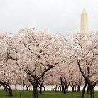 Picture - Cherry blossoms in front of the Washington Memorial on the National Mall.
