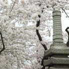 Picture - Japanese Pagoda and cherry blossoms in spring around the Tidal Basin, Washington.