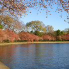 Picture - The Tidal Basin in Washington in the spring.