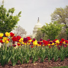 Picture - Spring tulips in front of the US Capitol in Washington.