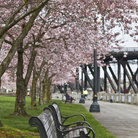 Picture - Park bench and spring blooms in Waterfont Park in Portland.