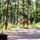 Picture - A deer wanders into a campsite in Waterton Lakes National Park.