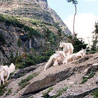 Picture - Mountain goats in high elevations of Waterton Lakes National Park.