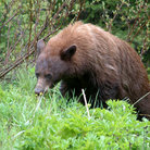 Picture - A bear in Waterton Lakes National Park.