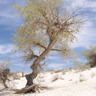 Picture - Gnarled tree growing in the sand at White Sands National Monument.